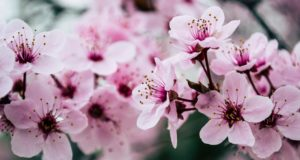 The Meaning Of Cherry Blossom Tattoos According To Different Cultures